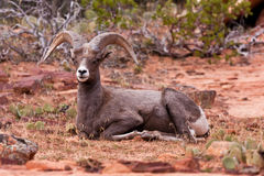 Desert Big Horn Ram Sheep Royalty Free Stock Image