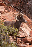 Desert Big Horn Ram Sheep Royalty Free Stock Photo