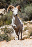 Desert Big Horn Ram Sheep Stock Photos
