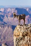 Big Horn Ram Standing On The Edge Of Grand Canyon Royalty Free Stock Photo