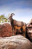 Desert Big Horn Sheep. A female, ewe, desert big horn sheep stock photography