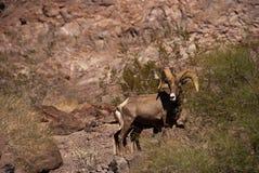 Desert big horn sheep. Lone ram desert big horn sheep standing on a hill Stock Photos