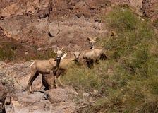 Desert big horn sheep. Standing on a hill Royalty Free Stock Photos