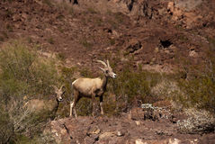 Desert big horn sheep. Standing on a hill Royalty Free Stock Image