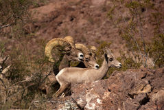 Desert big horn sheep Stock Images