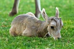 Free Desert Big Horn Sheep Baby Lamb Royalty Free Stock Image - 25409756
