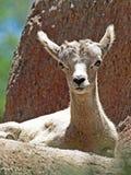 Desert Big Horn Sheep Royalty Free Stock Image