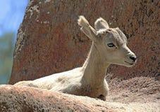 Desert Big Horn Sheep Stock Photo