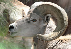 Desert Big Horn Sheep Stock Images