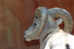 Desert Big Horn Sheep. Bighorn Male Ram Close Up Head Royalty Free Stock Photography