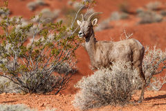 Desert Big Horn Sheep in Mojave Desert Stock Image