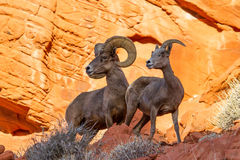 Desert Big Horn Sheep on Red Rock Stock Photos