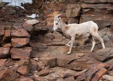 A desert big horned sheep ewe comes down from a snowy slope along a rocky trail in Zion national park Utah stock images