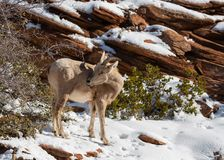 A desert big horned sheep ewe reaches back to scratch an itch on her side.  royalty free stock images