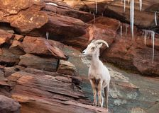 A desert big horned sheep ewe stands on a red sandstone ledge looking towards the left with icicles hanging down from the rocks. Behind her stock images