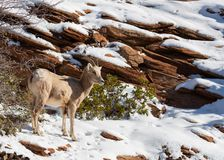 A desert big horned sheep ewe stands in the snow that covers the red sandstone of Zion national park stock photo