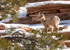 A desert big horned sheep is framed by the branches of a pine tree as it stands on a snow covered red sandstone mountainside.  stock photography