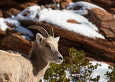 A desert big horned sheep looks out from up on a red sandstone ledge on a cold snowy winter day royalty free stock image