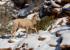 A desert big horned sheep walks up a snow covered rock slope with a few green manzanita bushes in the background royalty free stock photo