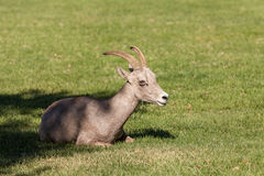 Desert Bighorn Bedded Stock Images