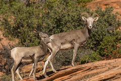 Desert Bighorn Ewe with her Lamb Stock Image