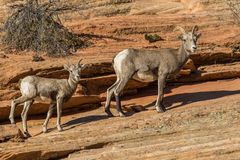Desert Bighorn ewe and Lamb Stock Photo