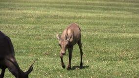 Desert Bighorn Ewe and Lamb stock footage