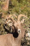 Desert Bighorn Ewe Portrait Royalty Free Stock Images