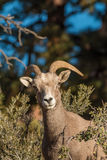 Desert Bighorn Ewe Portrait Stock Photos