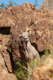 Desert Bighorn Ewe in Rocks Stock Photo