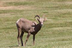 Desert Bighorn Ewe Stock Images