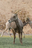Desert Bighorn Ewe Royalty Free Stock Photography