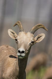 Desert Bighorn Ewe Royalty Free Stock Images