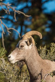 Desert Bighorn Ewe Side Portrait Royalty Free Stock Photo