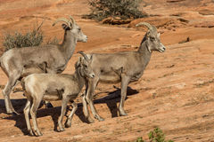 Desert Bighorn Ewes and Lamb Royalty Free Stock Photo