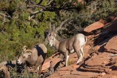 Desert Bighorn Ewes Stock Images