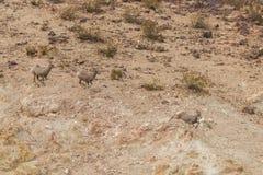 Desert Bighorn Ewes Running Stock Photos