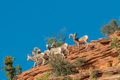 Desert Bighorn Herd in the Rut Royalty Free Stock Images