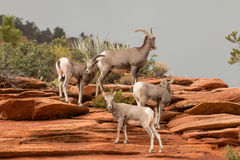 Desert Bighorn Herd Stock Images