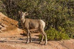 Desert Bighorn Lamb Stock Image