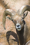 Desert Bighorn Looking at You Royalty Free Stock Photography