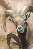 Desert Bighorn Looking at You Royalty Free Stock Photos