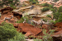 Desert bighorn in the moutain of Zion National Park Royalty Free Stock Photography