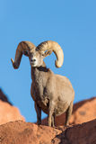 Desert Bighorn Ram Against Blue Sky Stock Photos