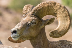 Desert Bighorn Ram Close Up Portrait Royalty Free Stock Photo