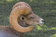 Desert Bighorn Ram Close Up Stock Images