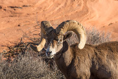 Desert Bighorn Ram Close Up Stock Photo