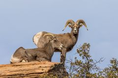 Desert Bighorn Ram and Ewe. A desert bighorn sheep ewe and ram in zion national park Utah in the rut stock images
