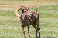 Desert Bighorn Ram Stock Photos