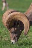 Desert Bighorn Ram Grazing Stock Image